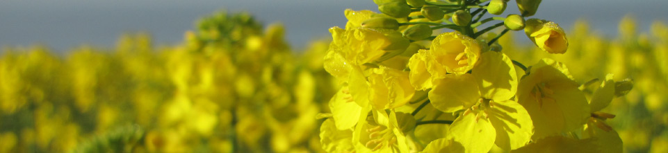yellow-rape-seed-flowers.jpg